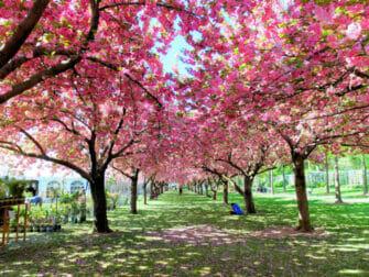 Jardins Botânicos em Nova York - Cerejeiras floridas